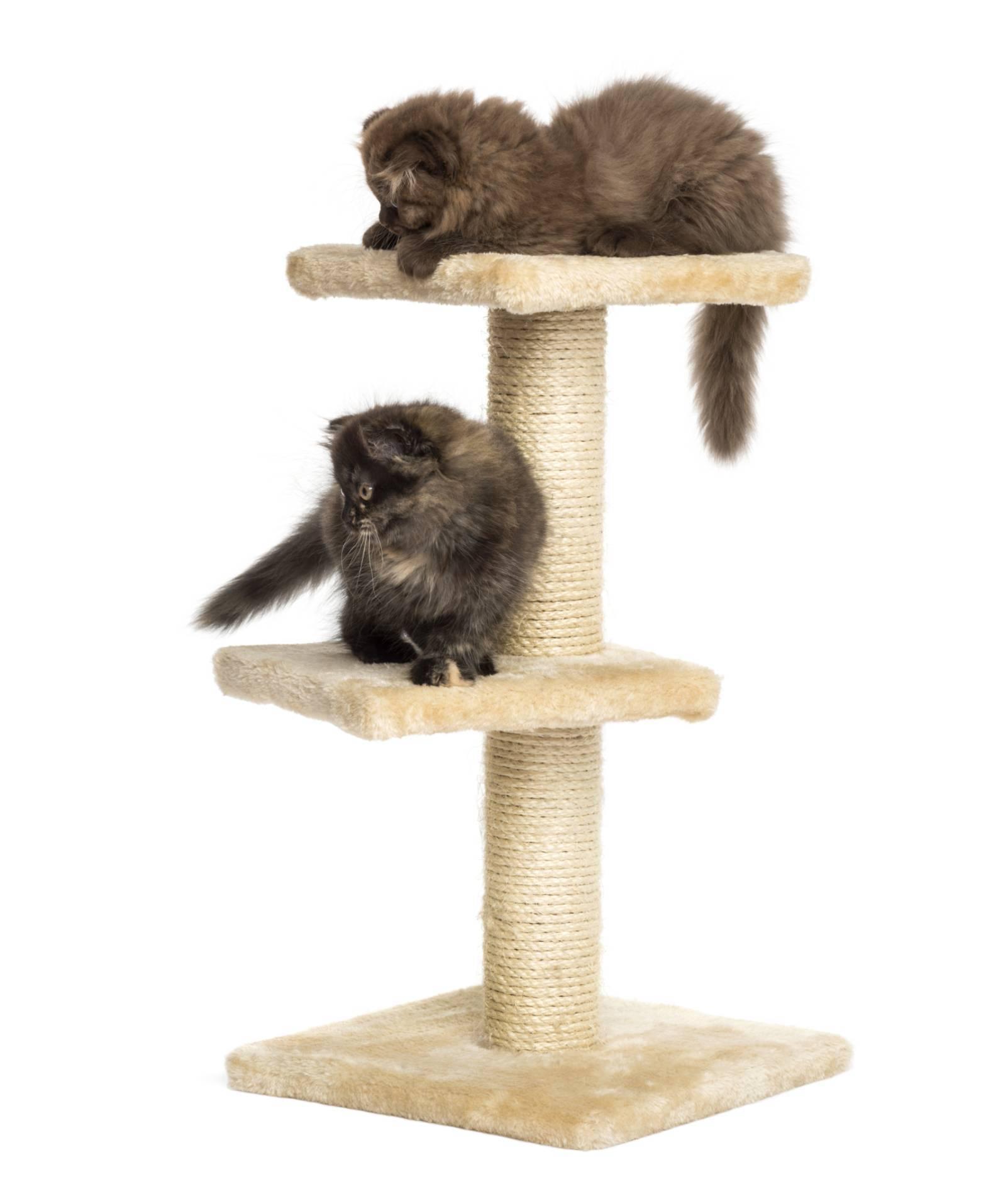 arbre à chaton