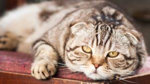chat pantouflard